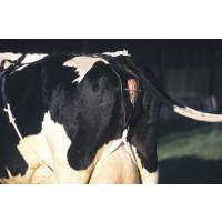 Bandage prolapsus en cuir gros bovins