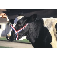 Licol en nylon bleu/blanc/rouge pour vache
